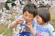 川俣遥叶くん絢香ちゃん桜の花いじり